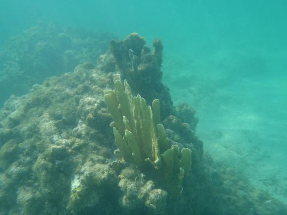 Cayman Brac coral